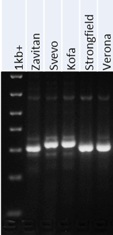 usw59 - PCR marker for Cd content